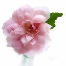 Mayflower Rose by LouiseK