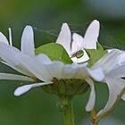 Araniella cucurbitina -Green Orb Weaver by lynn carter