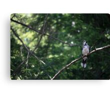 bluejay perched on a tree branch dark green background Canvas Print