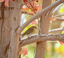 Fall Colors With Yellow Rumped Warbler by K D Graves Photography
