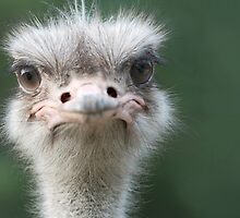 Ostrich by Thomas F. Gehrke