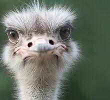 Ostrich by Thomas F. Gehrke