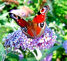 Peacock Butterfly by LVanDhal