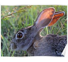 A Scrub Hare in daylight! Poster