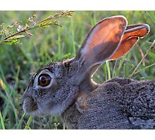 A Scrub Hare in daylight! Photographic Print
