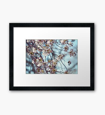Cherry Blossoms Blooming Framed Print