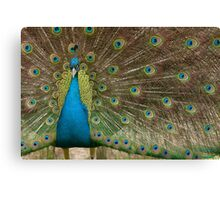 Peacock With Feathers Fanned Canvas Print