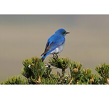 Mountain Bluebird Photographic Print