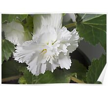 Fringed Begonia Blossom Poster
