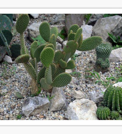 Cacti on gravel. Sticker