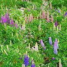 More Lupins by Harry Oldmeadow