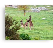 'SHALL WE DANCE!' Kangaroos stand tall. 'Arilka' Mount Pleasant. Canvas Print