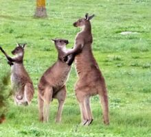 'SHALL WE DANCE!' Kangaroos stand tall. 'Arilka' Mount Pleasant. Sticker