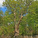 The Knightwood Oak by RedHillDigital
