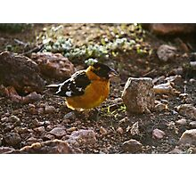 Grosbeak Photographic Print