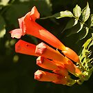 Trumpet Vine Flowers by Linda  Makiej