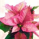 Pink Poinsettia Christmas Card by LouiseK
