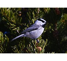 Mountain Chickadee Photographic Print
