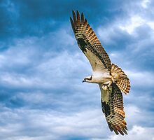 Osprey with Fish by Tarrby