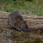 Brown rat - II by Peter Wiggerman