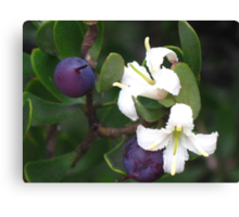 Purple Berries of a Persoonia gunnii Canvas Print