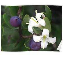 Purple Berries of a Persoonia gunnii Poster