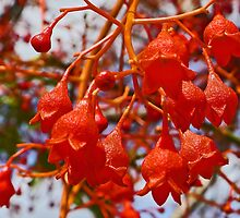 Illawarra Flame Tree Flowers by Graeme  Hyde