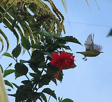 Yellow Honeyeater Takes Flight in Bali by Keith Richardson