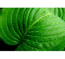 Hosta Leaf Photographic Print