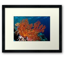 Sea fan in shallow water, Wakatobi National Park, Indonesia Framed Print