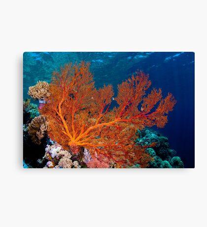 Sea fan in shallow water, Wakatobi National Park, Indonesia Canvas Print