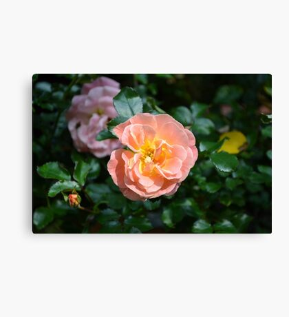 Pink Drift Roses Canvas Print
