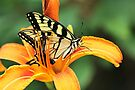 Tiger Swallowtail Butterfly On Daylily by MotherNature