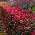 Winter hedge by indiafrank