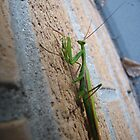 Praying Mantis by David Shaw