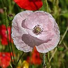 Pink Poppy by Barrie Woodward