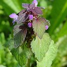 Dead Nettle by Barrie Woodward