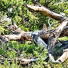Deadwood on Cherry Creek Trail 1  by Robert Meyers-Lussier