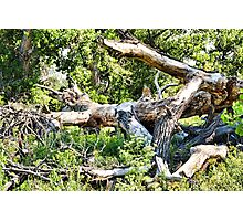 Deadwood on Cherry Creek Trail 1  Photographic Print