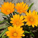 Gazanias by PhotosByG