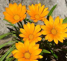 Gazanias by PhotosByG