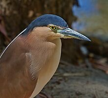 Nankeen or Rufous Night heron by MrBennettKent