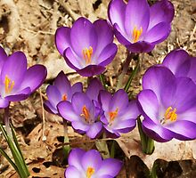 Crocuses by Maryna Gumenyuk