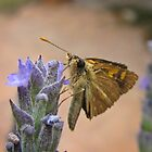 Fluffy-faced Skipper on Lavender by Lee Jones