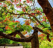 Royal Poinciana or flame tree blossom in Thailand by Stanciuc