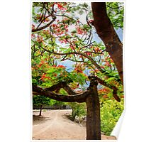 Royal Poinciana or flame tree blossom in Thailand Poster