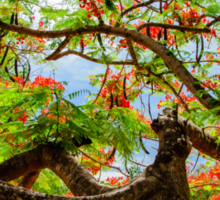Royal Poinciana or flame tree blossom in Thailand Sticker