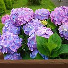 Beautiful Hydrangea Blossoms - Blue, Purple and Pink by BlueMoonRose