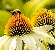 2 CONE DAISIES 1 BEE by pjm286