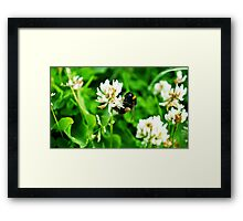 Bumblebee on Clover Framed Print
